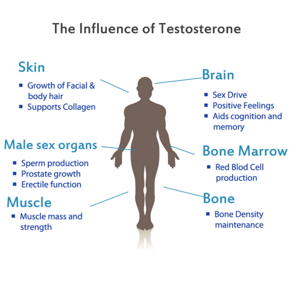 Functions-of-Testosterone
